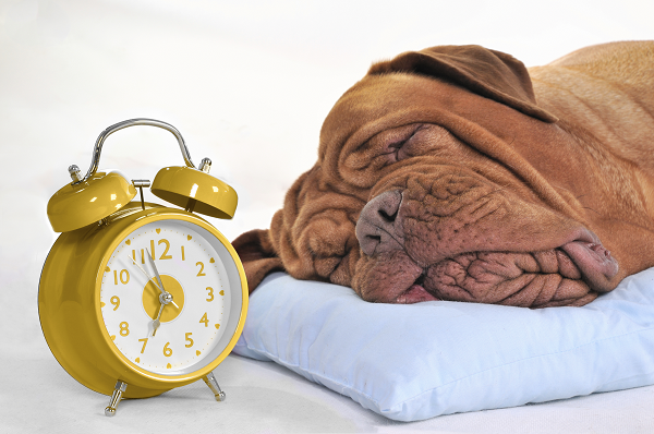Pies rasy bokser śpiący obok budzika.